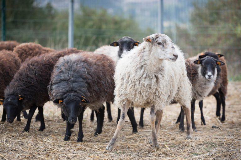 Zagroda z owieczkami